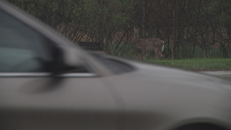 As deer mating season approaches, motorists are advised to keep an eye out and slow down