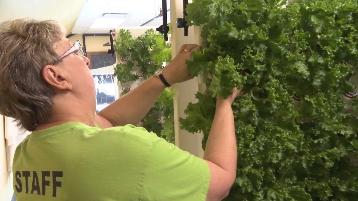 A staff member checks the lettuce growing in Menasha's hydroponics lab (WBAY photo)