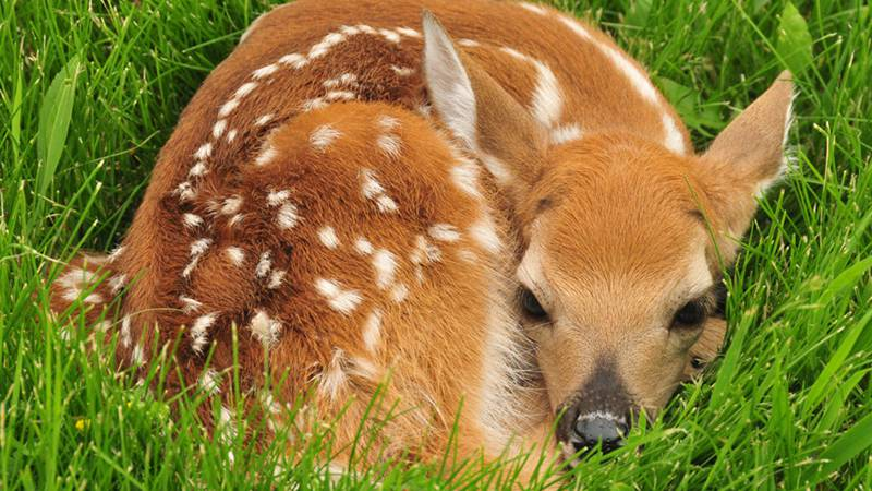 Fawns should be left alone, says the Wisconsin DNR, unless they are in a dangerous place, such...