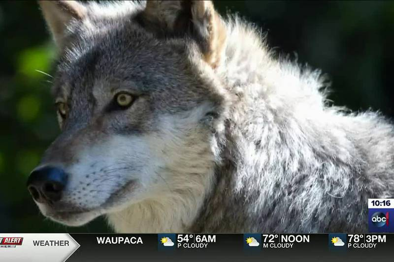 Wisconsin committee looks at the impact of February's wolf hunt