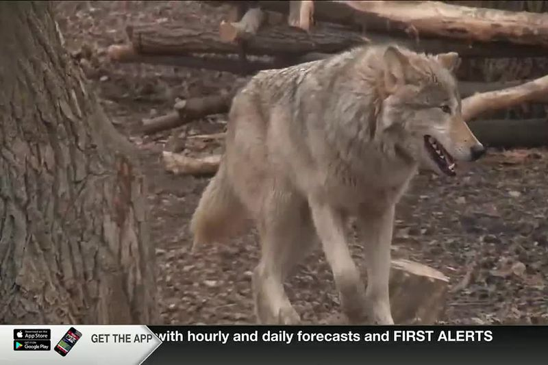 Public input sought on 10-year Wolf Management Plan