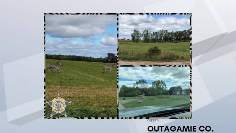 Loose zebras found near Seymour by the Outagamie County Sheriff's Office