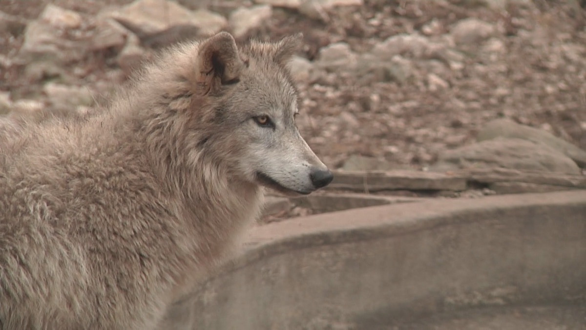 A national hunting rights group is suing Wisconsin's DNR for not establishing a wolf hunt this...