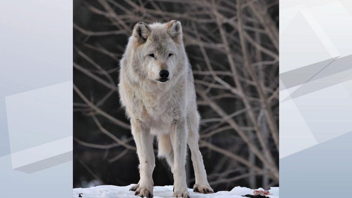 Sienna, a gray wolf (Photo: Menominee Park Zoo)