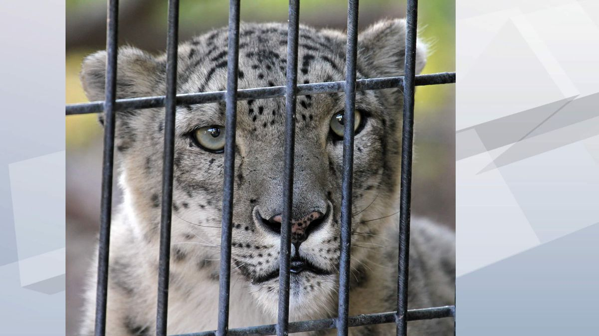 Rajan, a male snow leopard (Photo provided by NEW Zoo)