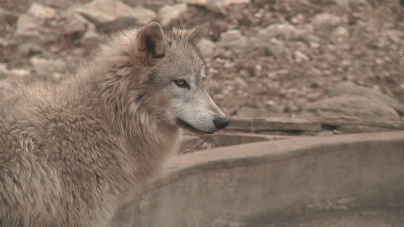 DNR sets harvest quota of 400 wolves
