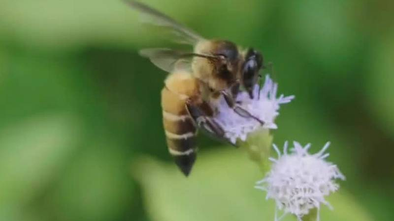 A bee collects pollen from a flower. Scientists discovered flies that look likes bees may be...