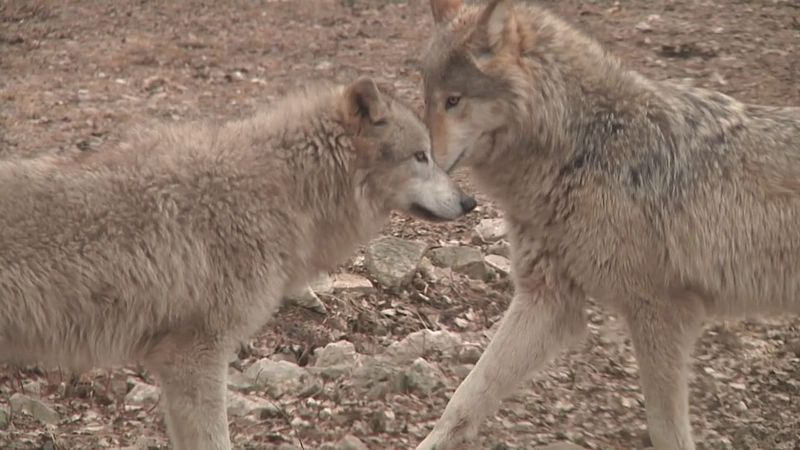 The state's allocated quota is 119, while 81 wolves were allocated to Ojibwe Tribes.