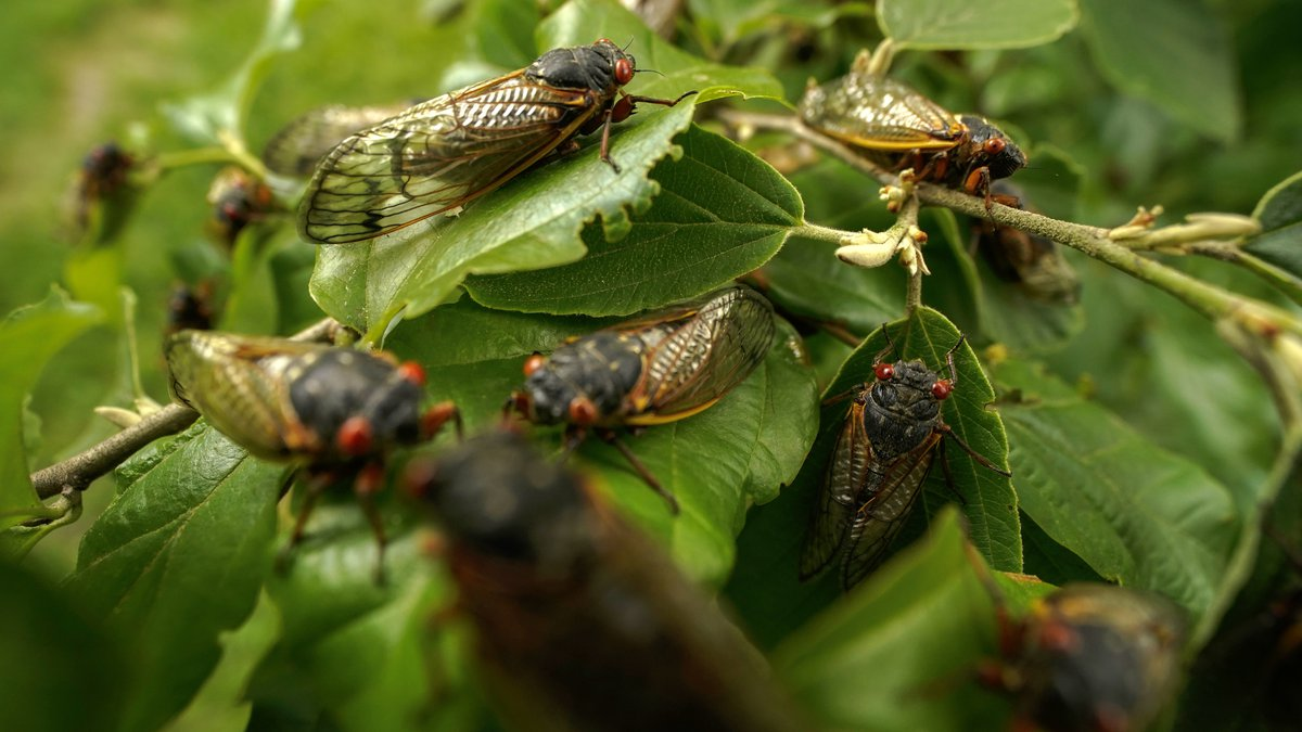 Adult cicadas cover a plant, Monday, May 17, 2021, at Woodend Sanctuary and Mansion, in Chevy...