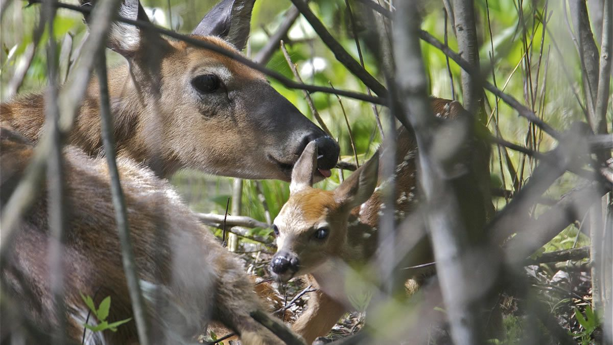 A deer cares for its fawn born May 22 at Heckrodt Wetland Reserve in Menasha (Photo: Tim Sweet)