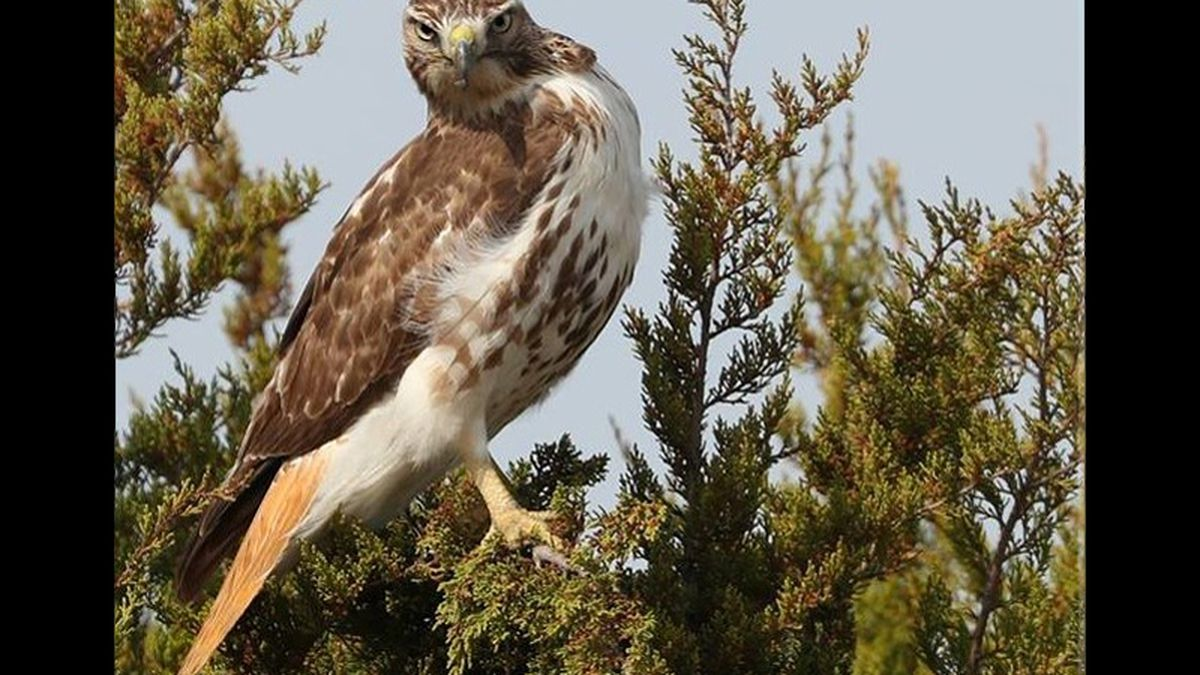 A red tail hawk. (Photo courtesy of Brian Boyd Photography)