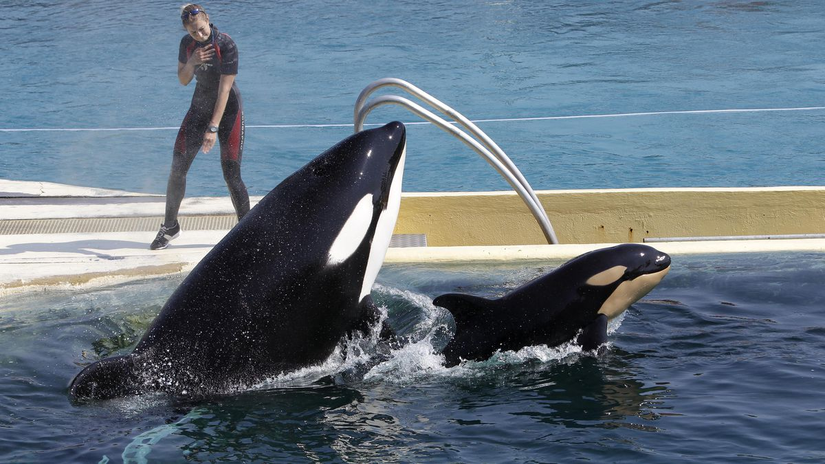 "FILE - In this April 18, 2011 file photo, killer whale ""Wikie"", jumps with its baby, a female born one month ago at the Marineland aquatic park in Antibes, southeastern France. France's environment minister Barbara Pompili announced Tuesday Sept.29, 2020 a gradual ban in the coming years on the use of wild animals in travelling circuses and on keeping in captivity dolphins and killer whales."