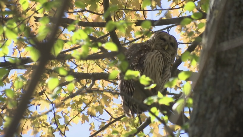 Barred Owl at Heckrodt Wetland Reserve