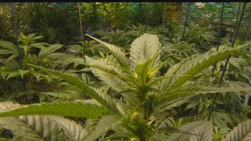 Officials say medical marijuana could help veterans with PTSD