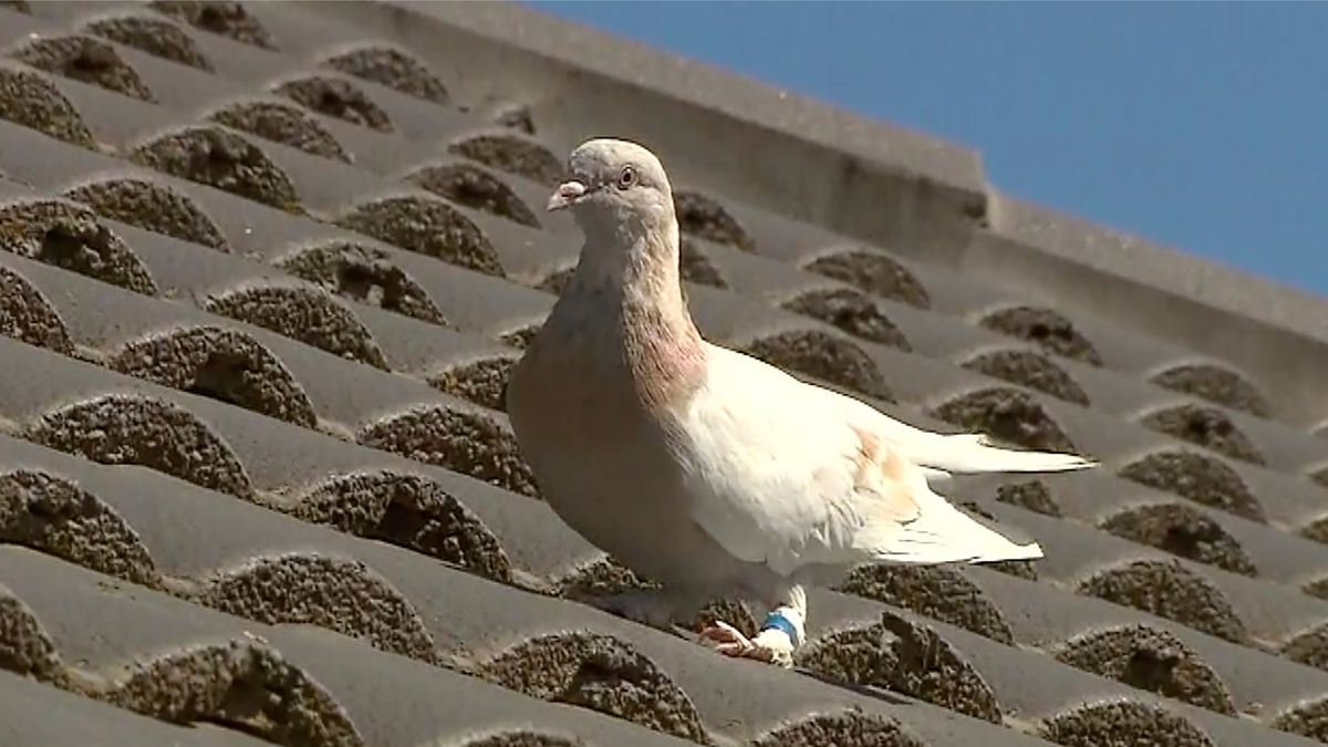 In this image made from video, a racing pigeon sits on a rooftop Wednesday, Jan. 13, 2021, in...