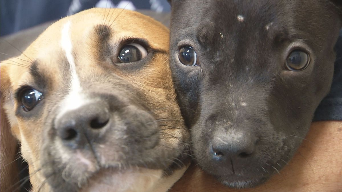Two puppies thrown in a retention pond in Fond du Lac are being cared for at the Fond du Lac Humane Society (WBAY photo)