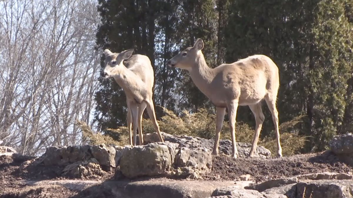 Deer in Fond du Lac's Lakeside Park habitat (WBAY photo)