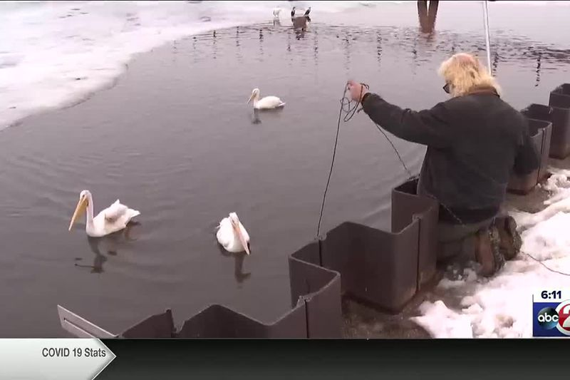Concerned citizens try to rescue injured pelicans on Green Bay
