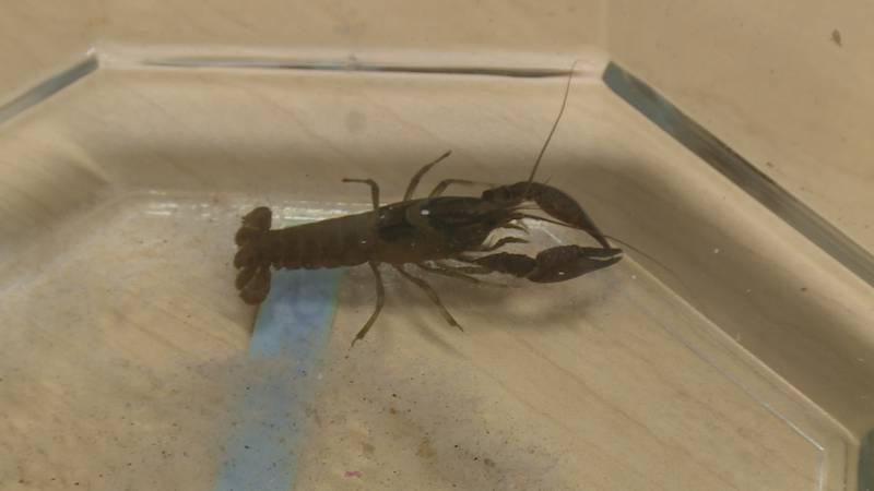 Crayfish in Florida