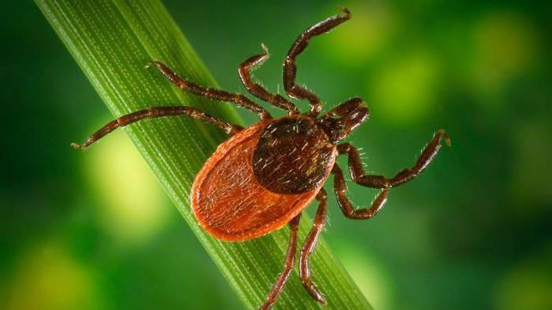 The deer tick is also known as the black-legged tick. (Source: CDC)