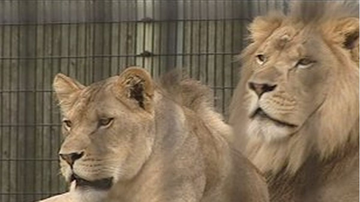 African Lions at the NEW Zoo in this undated file photo (WBAY photo)